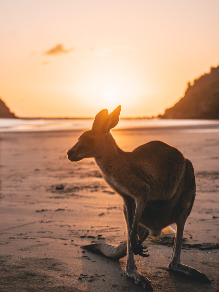 Cape Hillsborough National Park kangaroo on the beach
